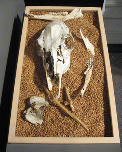 Harvest (2007). Cow skull, wheat kernels, wood box.
